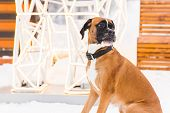 Brown Pedigreed Dog Sitting In The Snow. Boxer. Beautiful Hunter Dog poster