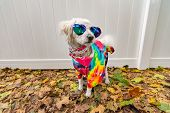 Dog Dressed Up Like A Hippie. Wearing Tye Dye Shirt, Necklace And Sunglasses. poster