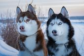 Two Siberian Husky Dogs Looks. Husky Dogs Black, Brown And White Coat Color. Closeup. Winter Sunset. poster