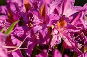 Pink, Red Rhododendron Azalea Blooms In Spring Garden. Springtime Beautiful Flower poster