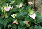 Andraeanum Plants