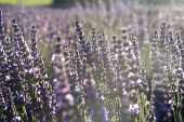 Lavender Field Of Rows Of Purple Flowers On A Sunny Day. Sunflare In The Photo poster