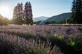 Lavender Flower Field Near Mt. Hood In Oregon, With An Abandoned Barn. Sunflare In Photo poster