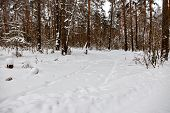Wild Winter Forest Without People. Traces Of The Wheels And Tires Of An Suv Through A Snowdrift. Tra poster
