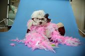 Behind the Scenes Dog Photo Shoot. Beautiful Maltese Dog with a Pink and White feather boa in a dog  poster