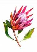 Protea. Watercolor Illustration Of Flower. Isolated Object On White Background. Handdrawn Picture. B poster