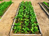 Vegetable Garden Bed Of Beet Leaves. Raised Bed Beet Leaves Salad Lettuce Carrot Vegetable Garden Co poster