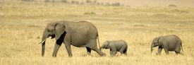 stock photo of baby animal  - a family of Elephants walking in a field - JPG
