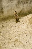 stock photo of gerbil  - A Gerbil at the zoo - JPG