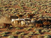 stock photo of mustering  - cattle mustered from helicopter near windorah queensland australia - JPG