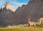 Mule Deer (Odocileus hemionus) With Badlands Background
