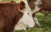 Beef cattle.