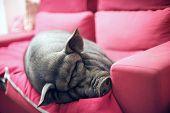 Black Piggy On Sofa
