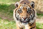 Close Up Head Shot Of Sumatran Tiger