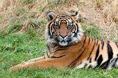 Angry Sumatran Tiger Lying In The Grass