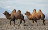 picture of steppes  - Bactrian camel in the steppes of Mongolia - JPG