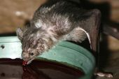 Vampire Bat Drinking Some Blood.