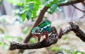 Chameleon (lat. Chamaeleonidae) sits on a branch