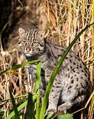 Fishing Cat Standing In Long Grass
