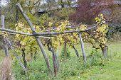 Weiser Elbling, Eberbach, Hessen, Germany
