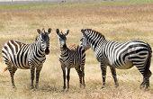 Zebras Plagued By Horseflies