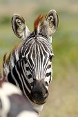 Portrait Of A Common Zebra