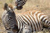 Zebra bebé deitado