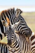 Babyzebra mit Mutter