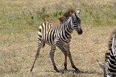 Unsteady Baby Zebra