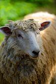 farm sheep