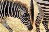 Closeup Of A Baby Zebra