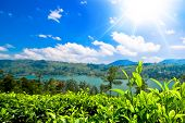 pic of cameron highland  - Green tea bud and leaves - JPG