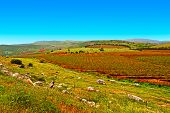 pic of golan-heights  - Rows of Vines on the Field in Golan Heights Early Spring - JPG