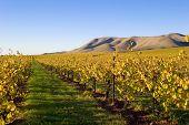 Fields Of Grape Vines