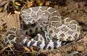 Southern Pacific Rattlesnake.