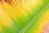 Colorful Fresh Banana Leaf Texture