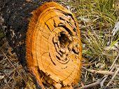 Sawn Log