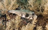 Whitespotted Pufferfish On A Coral Reef