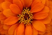 Extreme close up shot de flor de naranja zinnia