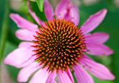 picture of prairie coneflower  - Close-up top-view of Echinacea flower in garden