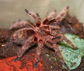 Mexican Orange Tarantula Spider