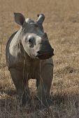 Rhinocerus calf