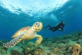 stock photo of under sea  - Hawksbill Sea Turtle and Scuba diver - JPG