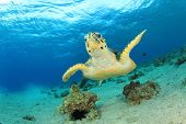 Hawksbill Sea Turtle underwater in ocean