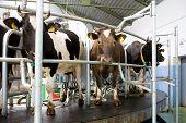 Ordenha da vaca