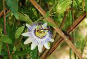 Bluecrown Passiflora