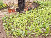 Gardener Planting Spring Plants