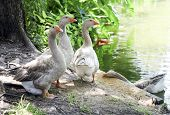 Grey Geese Near Pond