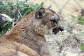 Mountain Lion Resting In Zoo