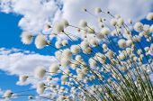 stock photo of marsh grass  - Flowering cotton grass on a background of blue sky - JPG